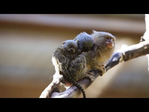 world's-smallest-monkey-species-gives-birth-to-two-adorable-babies