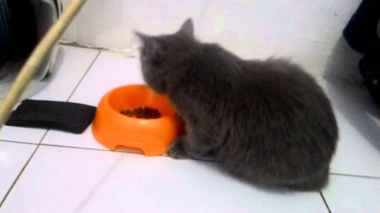 Unduh 93+  Gambar Kucing Persia Abu Abu Paling Bagus Gratis
