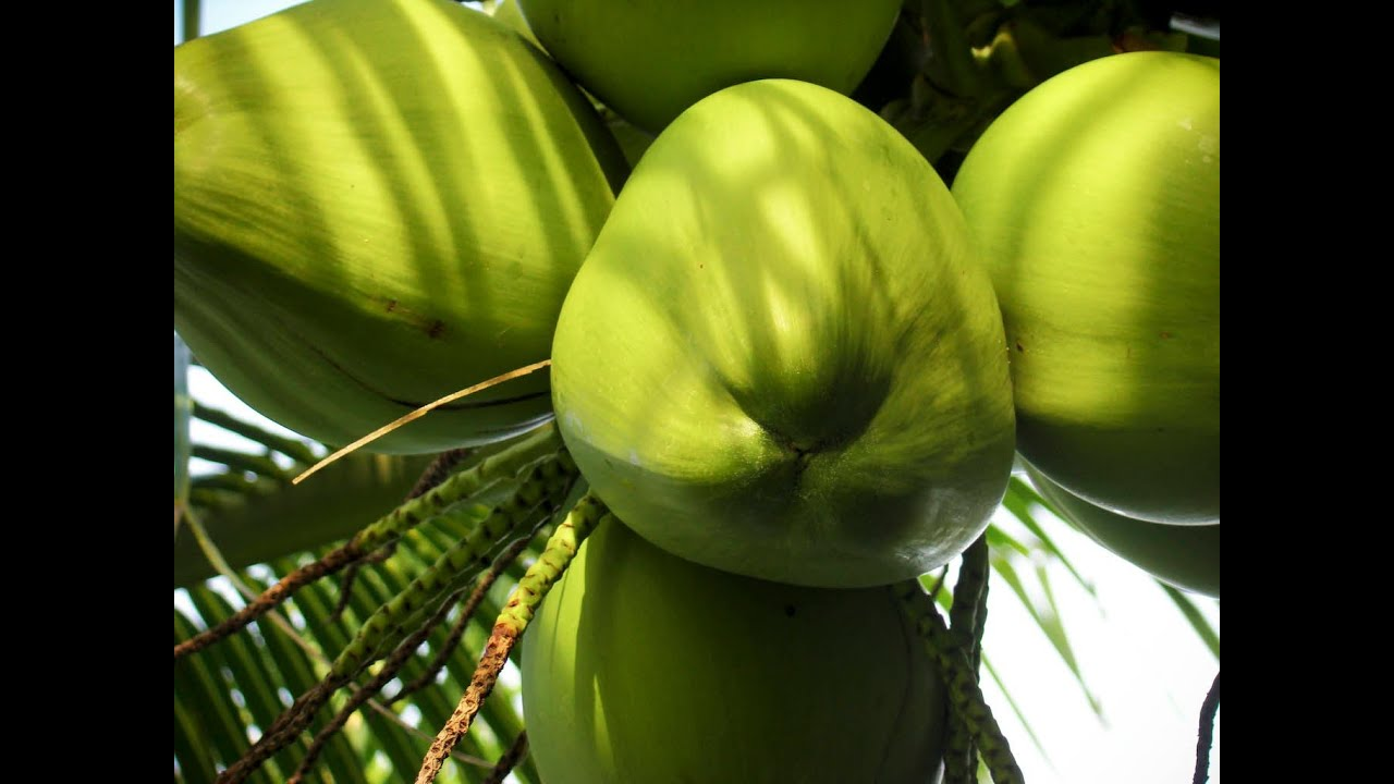 Green coconut fruit wallpaper