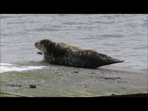 Common Seal Drøbak 30 Nov 2017