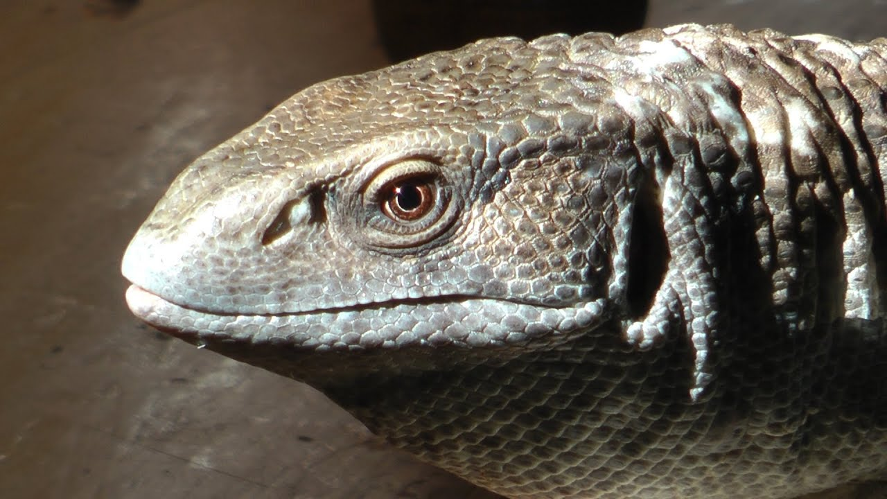 an examination of the savannah monitors lizards Unlike most editing & proofreading services, we edit for everything: grammar, spelling, punctuation, idea flow, sentence structure, & more get started now.