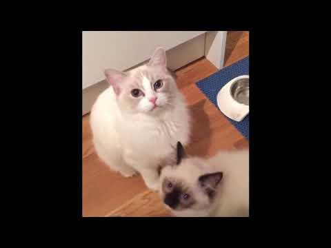 Cat Dry Food Scottish Fold Pregnant
