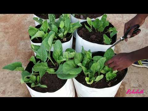 Harvesting Spinach Greens in our Terrace Garden / How To Grow Spinach / Home gardening in Tamil Nadu