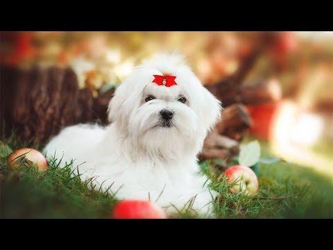 Мальтийская болонка описание породы! Все о породе собаки!