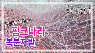 [유기농 복분자 묘목식재] 완성된 발효토양에 묘목심기