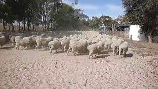 Parcage des moutons à Munglinup - Australie