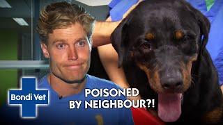 Cop's Dog Poisoned and Needs Emergency Treatment! | Classic Clip | Bondi Vet