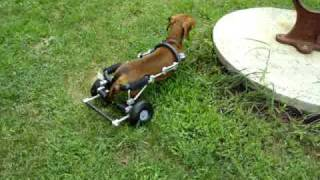 Cordel, A Disabled Dachshund, Takes Off On His Eddie's Wheels Dog Wheelchair