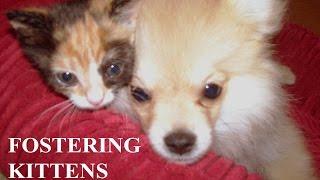 Pomeranian Foster Dog:  Fostering Rescue Kittens