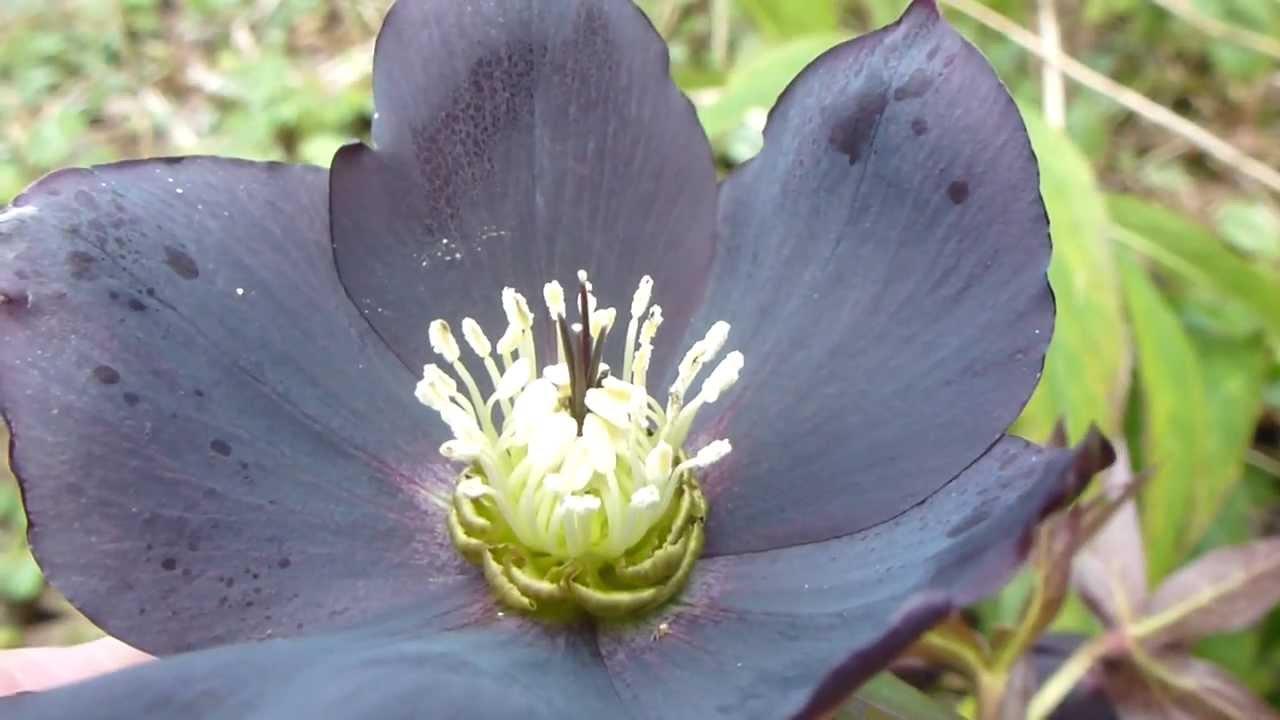 Helleborus orientalis black beauty flowers lenten rose jlars helleborus orientalis black beauty flowers lenten rose jlars eiturjurt izmirmasajfo
