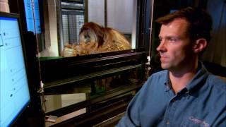 Orangutan understands 72 words! | Extraordinary Animals | Earth