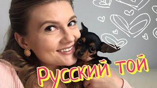 Русский той Хлоя - самая сообразительная и милая собака
