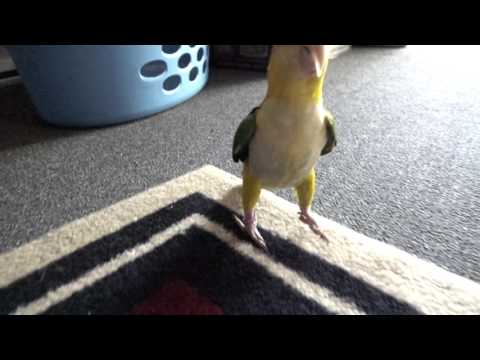 The Awkward Caique Hop –   Sony RX10 mk2 240fps