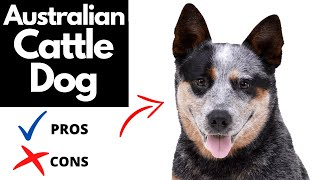 Australian Cattle Dog Pros And Cons | The Good AD The Bad Of A Blue Heeler!!
