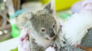 Australia, koala orfano in via di recupero grazie a un peluche