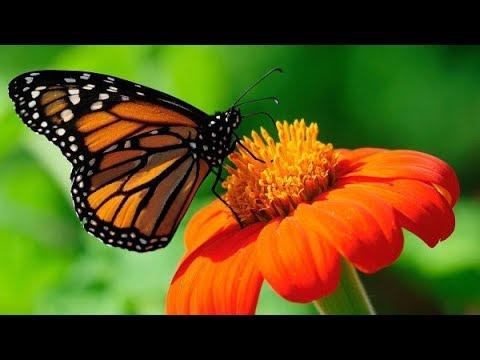 A pillangó letöltés