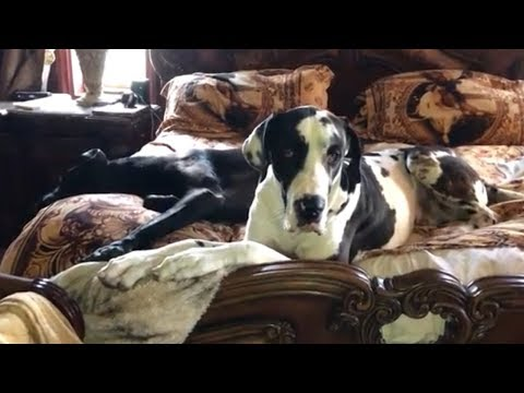 Great Dane has no interest in getting out of bed