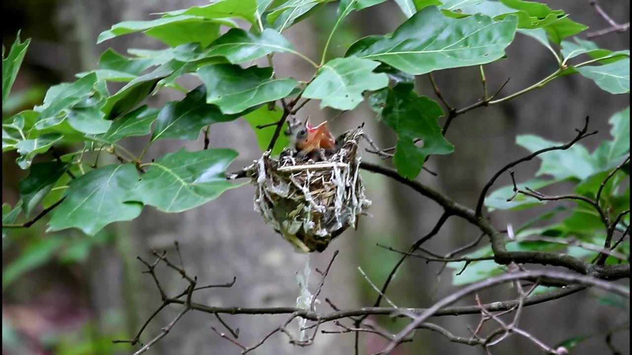 Red eyed vireo nest - photo#34