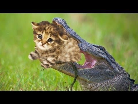 ネコを餌に、ペットのワニ 米