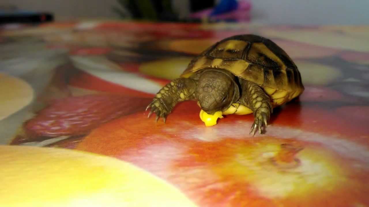 eating and tortoise One of my tortoises is very lethargic and hardly eating anything he is approximately 38 years old any idea what is - answered by a verified reptile expert.