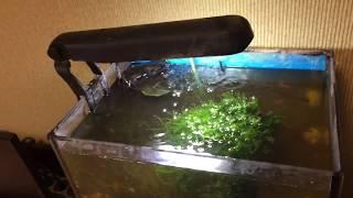 Яванский мох, пецилия микки маус, и креветка фильтратор в аквариуме