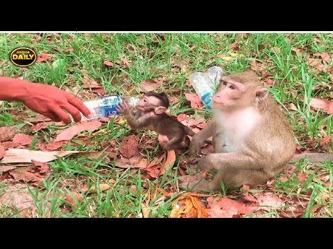 Thumbnail: Children monkey playing with mum monkeys Real life monkeys in Khmer - Angkor Daily Part 143