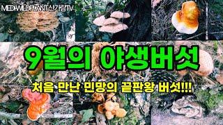 9월 현재 식용약용 야생버섯 생태 현황과 자연! #야생…