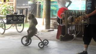 Monkey riding bike in Thailand