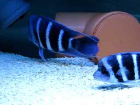 "Cyphotilapia frontosa blue ""Zaire"""