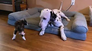 Crazy foster kitten enjoys playtime with Dalmatian friend