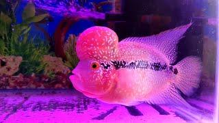 Flowerhorn A Luck Fish | Heart Beats