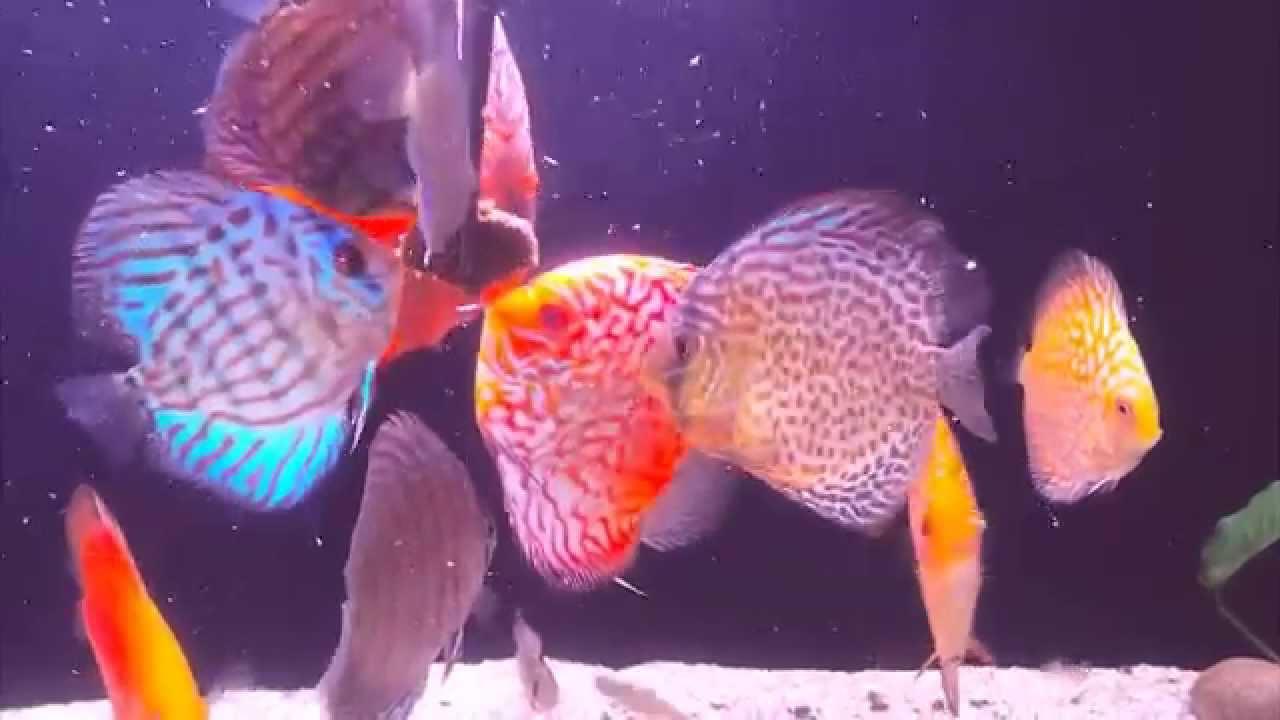 Fish aquarium in bangladesh - Discus Feeding On Bhm Mohammed Adnan Bangladesh Aquarists