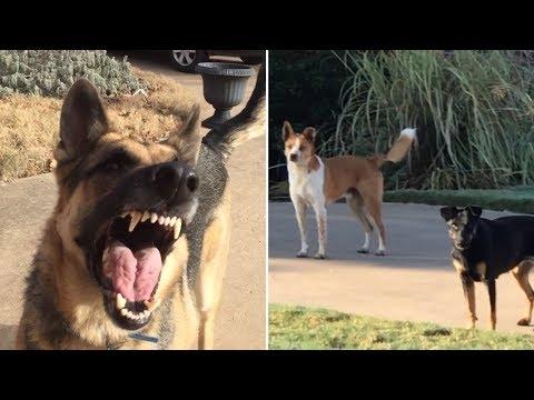 German Shepherd Power Barking At Strays!