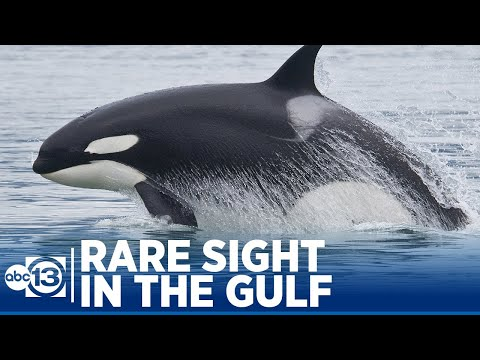 Watch this rare killer whale sighting in the Gulf off Galveston coast