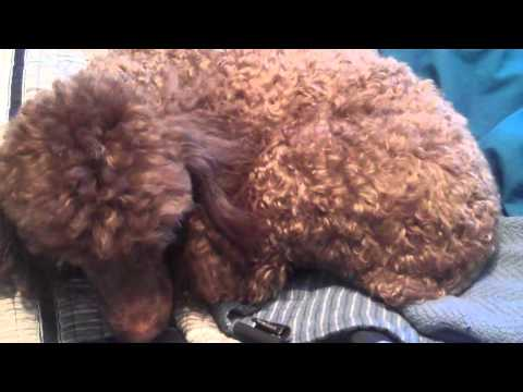brown-miniature-poodle---coco