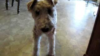 Border Collie Helps Wire Fox Terrier