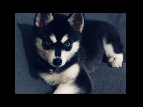Alaskan Klee Kai Mini Husky France