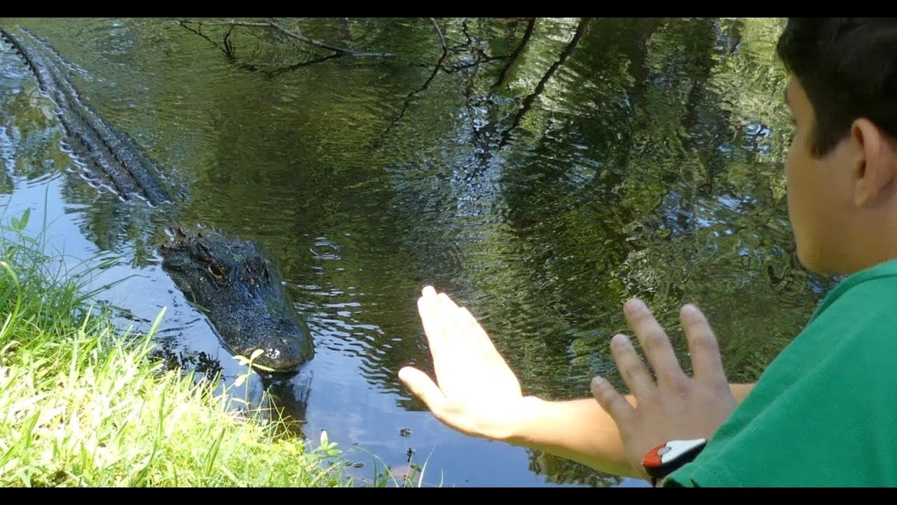 Hilton Head Alligator Attack: Footage of Gator Behavior 2 Weeks Before Attack