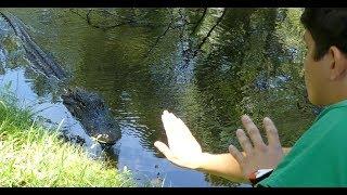 Hilton Head Alligator Attack: Footage of Gator Behavior 2 Weeks Before Attack