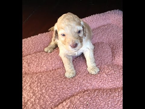 Labradoodles Puppies that are Cute and Four Weeks Old!