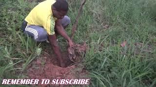 HOW PLANT PLANTING SUCKER