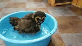 平日の空いてる店内では、フクロウ達が水浴びしてます☆彡 濡れるのに注...