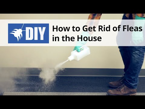 Fleas In Sofa No Pets Unfurl How To Get Rid Of The House Indoor Flea Control Treatment