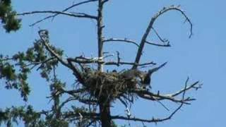 BALD EAGLES 3 EAGLETS FLYING FLEDGING