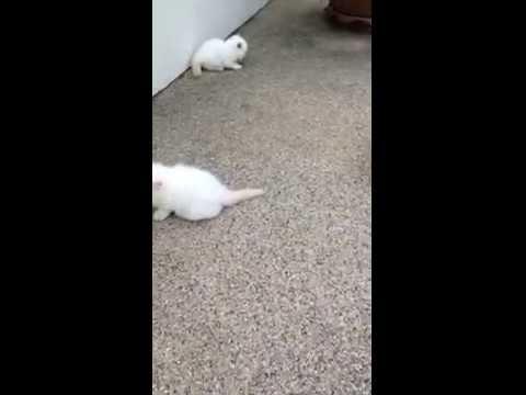 ขายลูกแมวเปอร์เซียหิมาลายันแท้ ตาสีฟ้า อายุ2เดือน