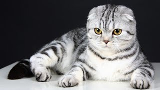 Кошка  - эффективное домашнее лечение.