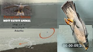 Most Fastest Birds in The World (Peregrine falcon)