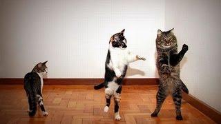 Кошки танцуют. Прикольное видео смешных котиков-танцоров
