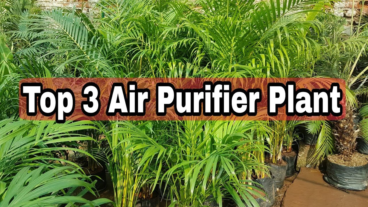 Top 3 Air Purifier Plant Which Purifies
