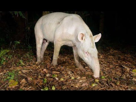 a-anta-albina---legado-das-Águas---tapiraí/sp-(hd)